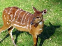 антилопа коричневая немногая Стоковое Изображение RF