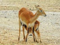 Антилопа кормить ее младенца стоковые фотографии rf