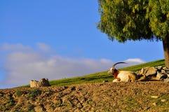 Антилопа отдыхая в тени Стоковая Фотография