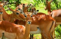 антилопа одичалая Стоковое Изображение RF