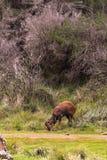 Антилопа пасет Гора Aberdare, Кения стоковые изображения