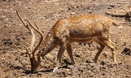 Антилопа пасет свободно в Израиле стоковые фото