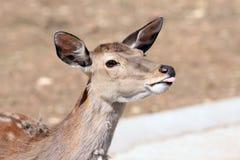 антилопа показывая язык Стоковые Изображения RF