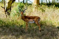 Антилопа прыгуна в природе саванны Африки одичалой Стоковые Изображения