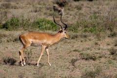Антилопа прыгуна в природе саванны Африки одичалой Стоковое Фото
