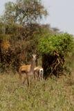 Антилопа прыгуна в природе саванны Африки одичалой Стоковые Изображения RF