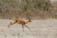 Антилопа прыгуна в ходе саванны Африки стоковые изображения rf