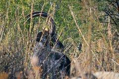 Антилопа соболя за вегетацией показывая сдобренные рожки Стоковые Фото
