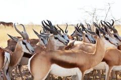 антилопа Стоковое Фото