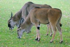 антилопа Стоковые Изображения