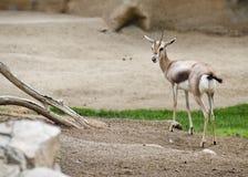 антилопа Стоковые Фото