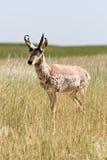 антилопа Стоковая Фотография RF