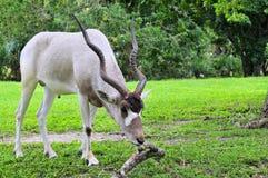 антилопа addax горизонтальная Стоковая Фотография