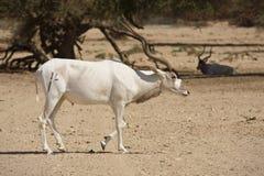 антилопа addax Стоковые Фото