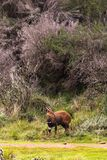 Антилопа bushbuck темного коричневого цвета на краю леса Кении стоковое фото