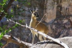 Антилопа Klipspringer африканца - oreotragus Oreotragus стоковая фотография rf