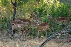 Антилопы в национальном парке Kruger, Южной Африке Стоковые Фото