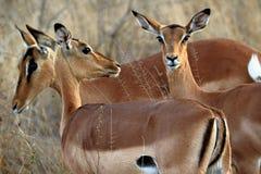 Антилопы в национальном парке Kruger, Южной Африке Стоковые Изображения