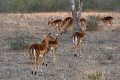 Антилопы в национальном парке Kruger, Южной Африке Стоковая Фотография RF