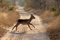 Антилопы в национальном парке Kruger, Южной Африке Стоковая Фотография