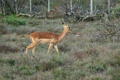 Антилопы в национальном парке Kruger, Южной Африке Стоковое фото RF