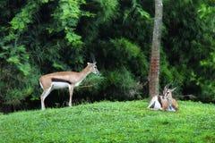 Антилопы на зеленом цвете Стоковое Фото