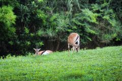 Антилопы на зеленом цвете Стоковые Изображения
