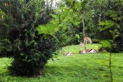 Антилопы на зеленом цвете Стоковая Фотография