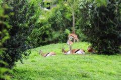 Антилопы на зеленом цвете Стоковая Фотография RF