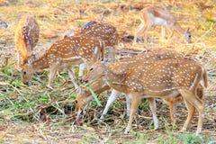 антилопы одичалые Стоковое Изображение RF
