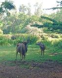 Антилопы пася в глуши стоковые изображения rf