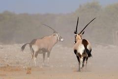 Антилопы сернобыка в пыли Стоковые Изображения