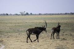 Антилопы соболя пася в Caprivi Стоковая Фотография