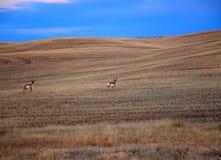 антилопы 2 Стоковая Фотография