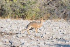Антилопы Dik-Dik Madoqua в кусте на национальном парке Kruger, назначении перемещения в Южной Африке Стоковые Изображения RF