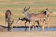 Антилопы Kudu Стоковое Фото