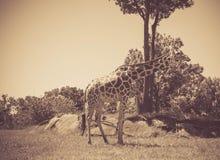 Античное фото стиля высокорослого жирафа на зоопарке в лете Стоковые Фотографии RF