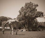 Античное фото стиля высокорослого жирафа на зоопарке в лете Стоковое Изображение RF