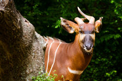 Антилопа бонго стоковое фото
