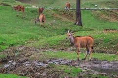 Антилопа в зоопарке Стоковое фото RF