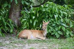 Антилопа в зоопарке Стоковая Фотография