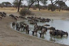 Антилопа гну в Африке Стоковая Фотография RF