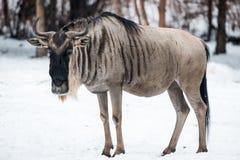 Антилопа гну в снеге Стоковое Фото