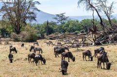 Антилопа гну и зебры пася Стоковое Изображение RF