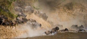 Антилопа гну скача в реку Mara большое переселение Кения Танзания Национальный парк Mara Masai стоковые фото