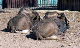 Антилопа гну Стоковое Изображение RF