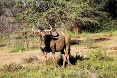 Антилопа гну Kgalagadi голубая пася Стоковая Фотография