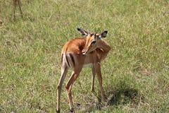 Антилопа импалы в Найроби, Кении Стоковые Фотографии RF