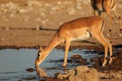 Антилопа импалы на waterhole Стоковое Фото