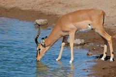 Антилопа импалы на waterhole Стоковые Изображения